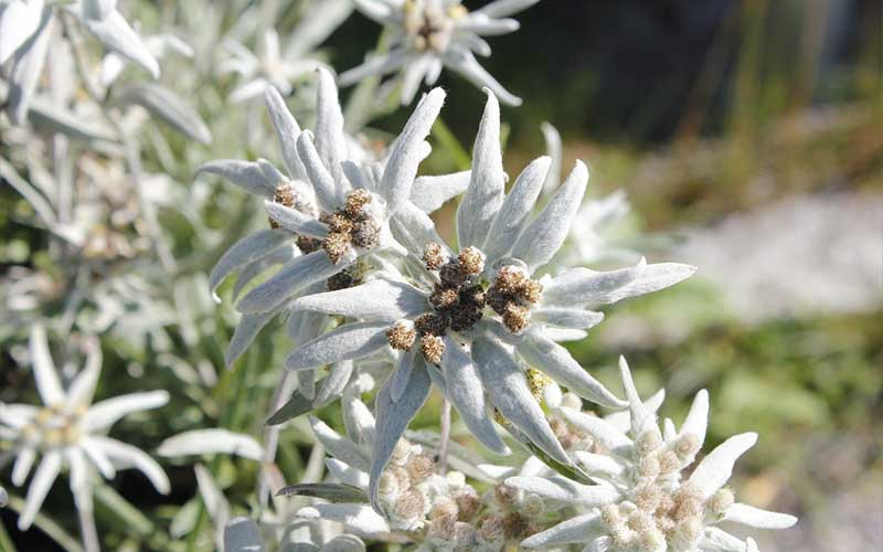 Everything You Need to Know About Edelweiss
