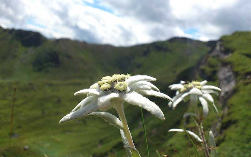 What is Edelweiss?